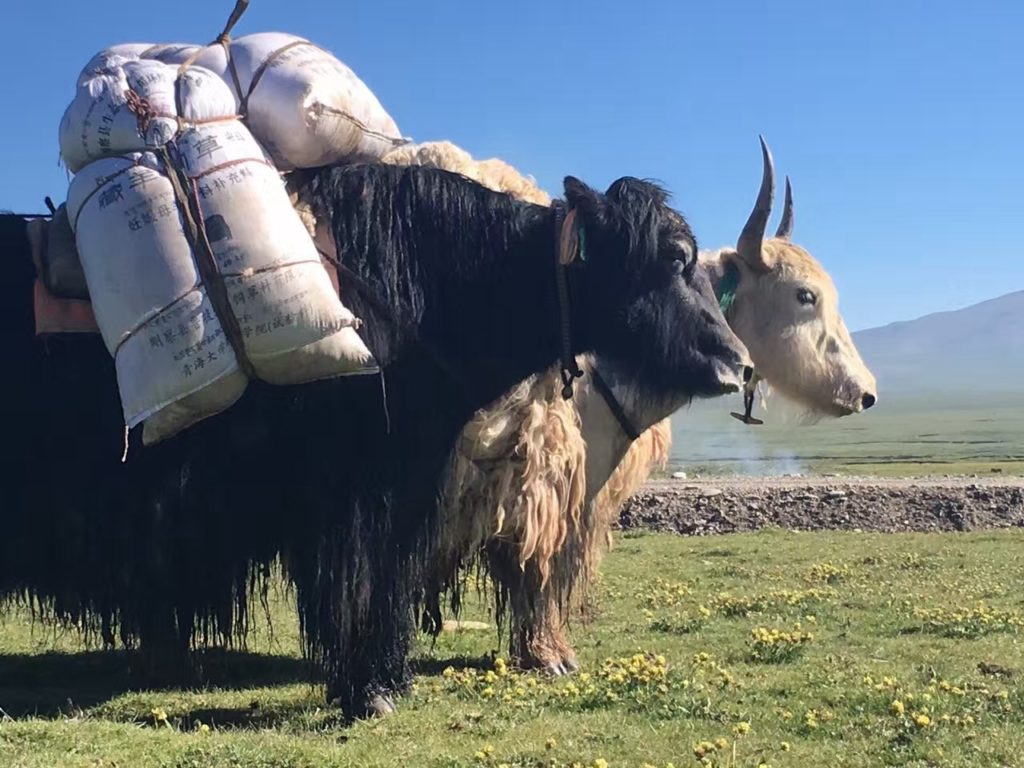 Image Of A Yak: Yaks: The Backbone Of Tibetan Agriculture