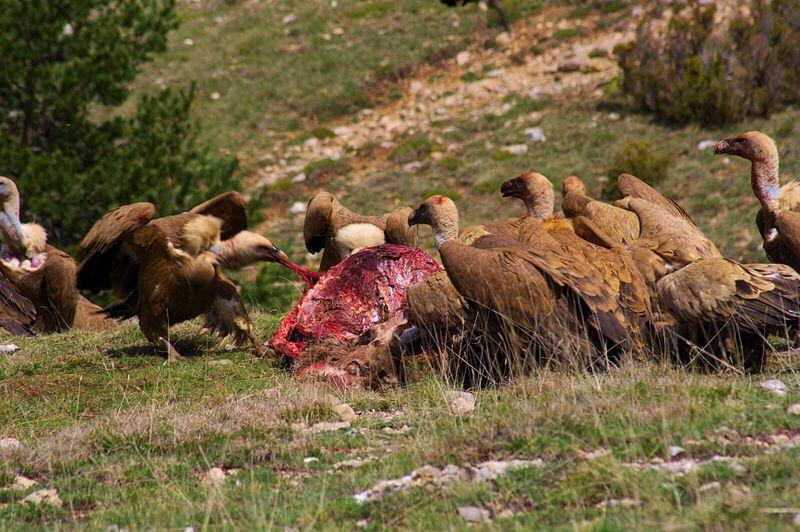 The lammergeier-Tibetan Vulture