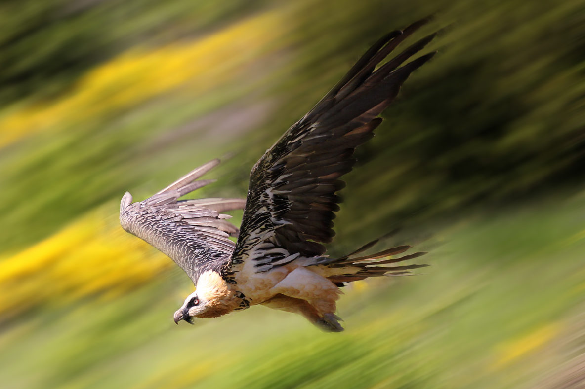 The Lammergeier The Sacred Vulture Of Tibet