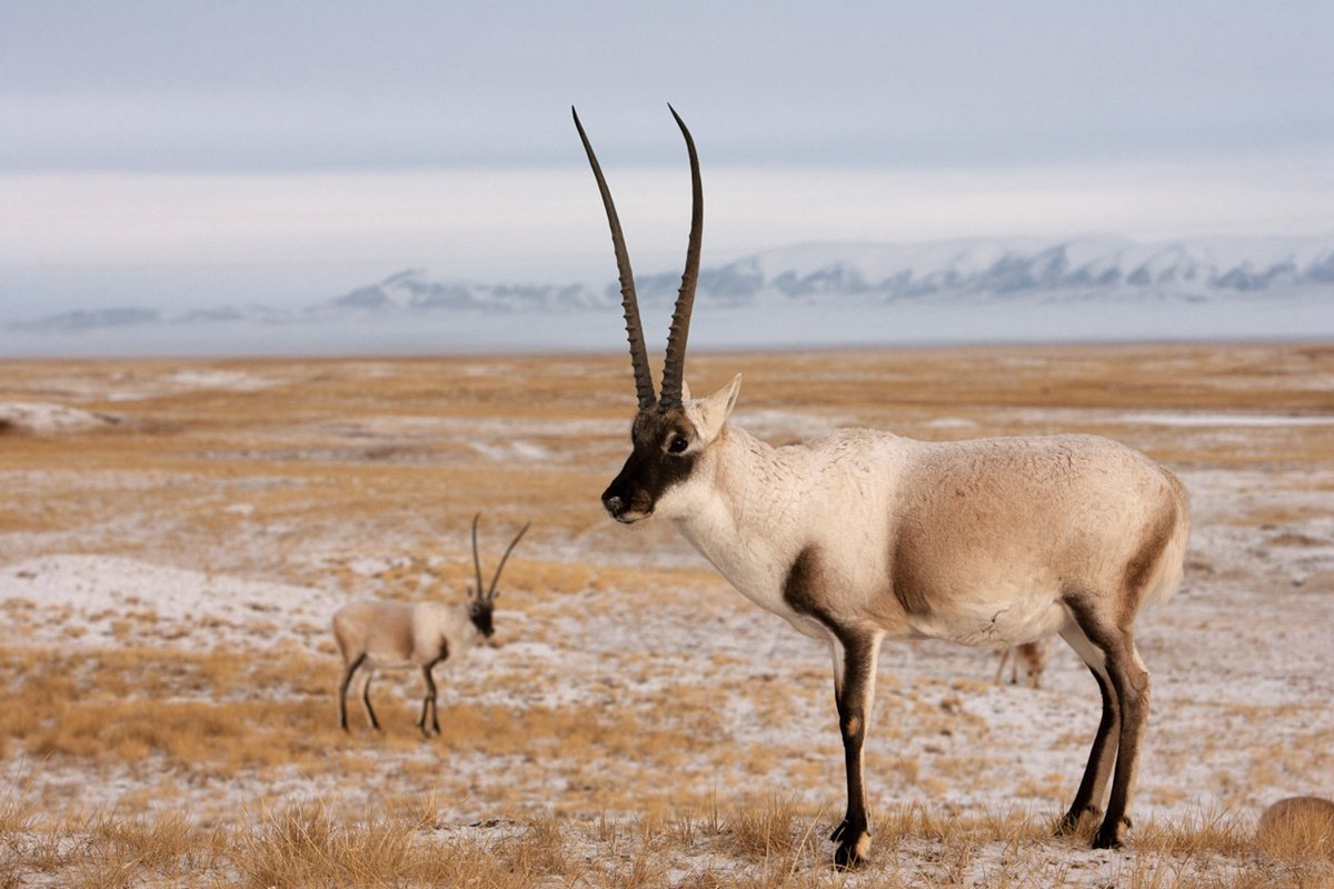 The Tibetan antelope with a juvenile on the Tibet Plateau