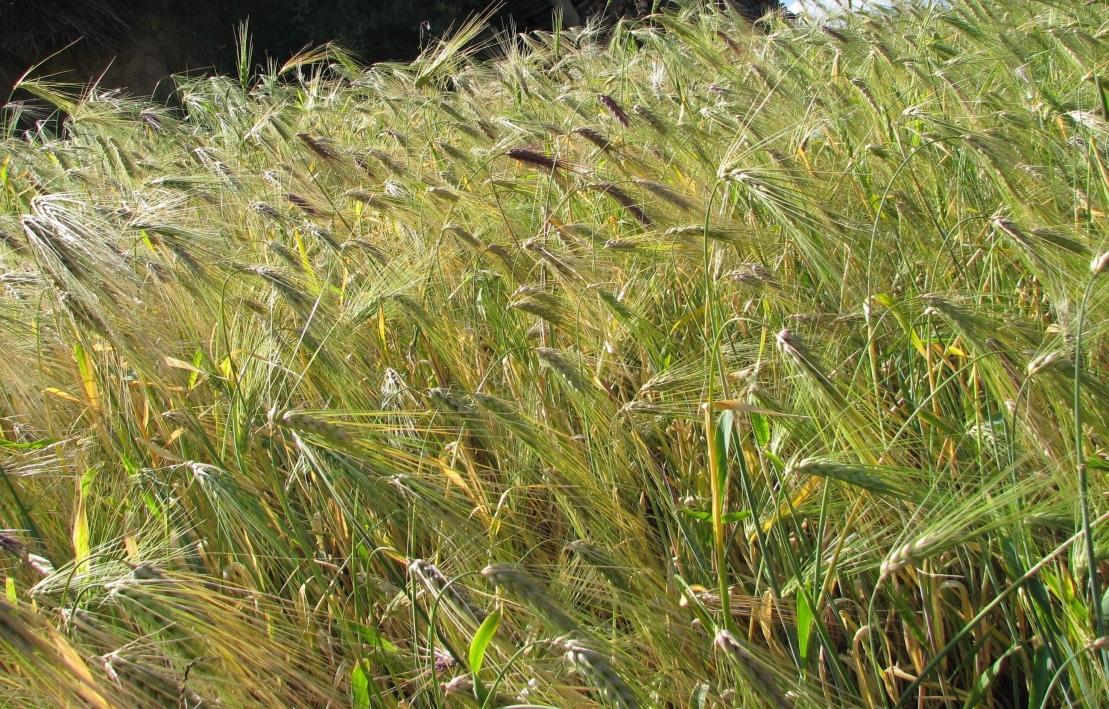 Tsampa /Barley