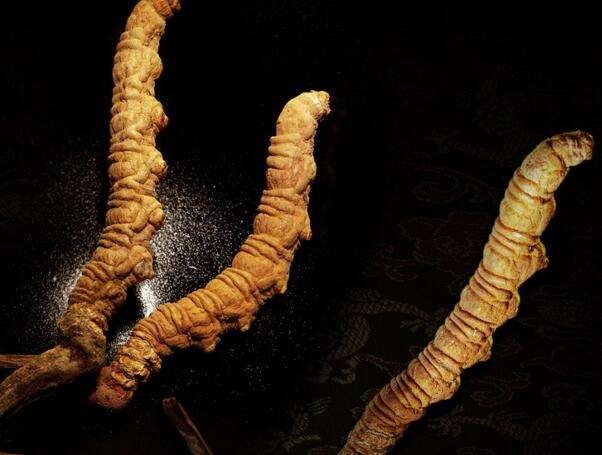 Caterpillar Fungus (Yartsa Gunbu)
